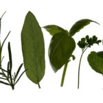 gynecomastia herbs